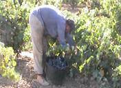 Corte uva en vaso 1
